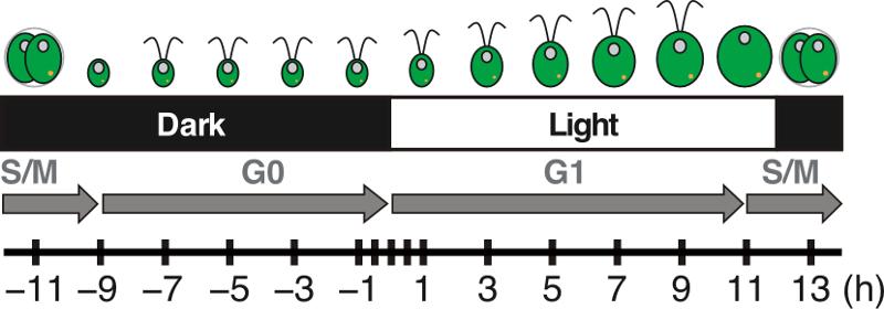 Genome Wide Transcriptomics In Chlamydomonas Reinhardtii During Day